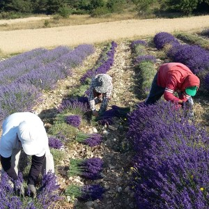 Lavender and lavandin bunches