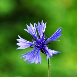 Bleuet (flores cyani)