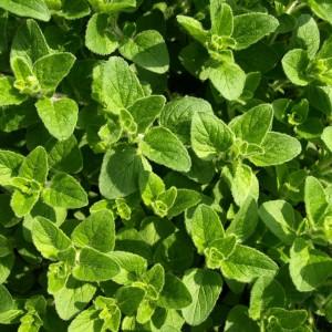 Oregano leaf (folia origanum vulgare)